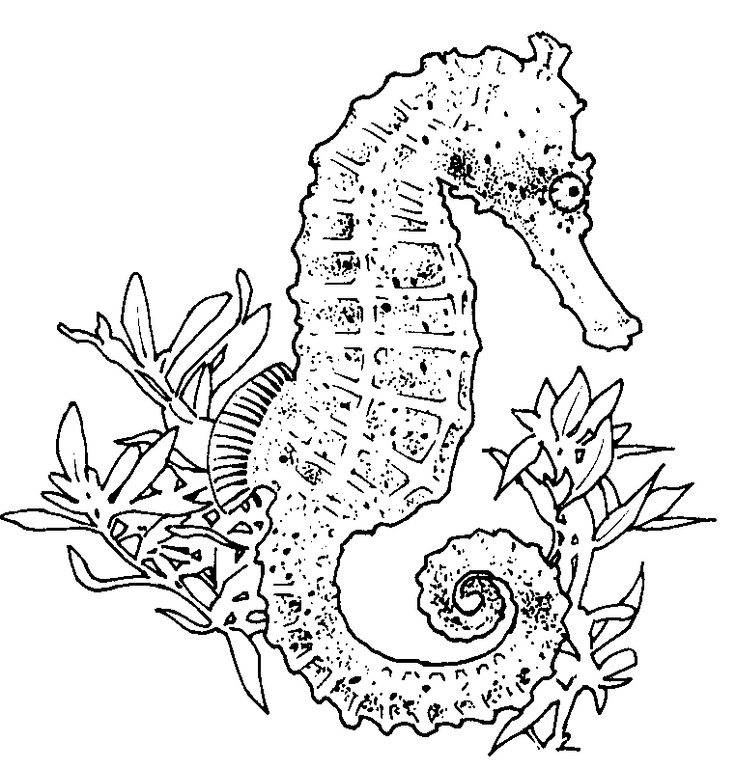 pictures of seahorses to colour free printable seahorse coloring pages for kids seahorses of pictures colour to
