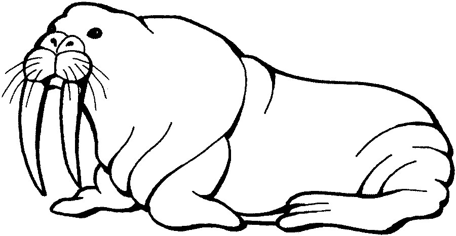 walrus colouring page printable walrus coloring pages for kids cool2bkids page walrus colouring