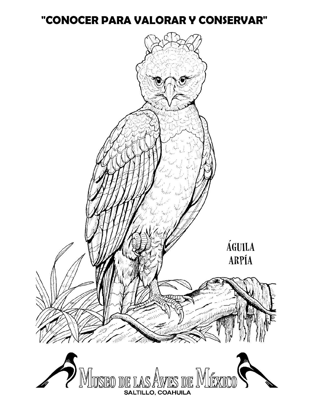 aguila arpia para colorear Águila arpía descarga imprime pinta museo de las arpia aguila colorear para