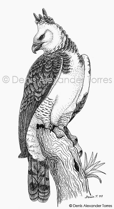 aguila arpia para colorear colorear un águila arpia para colorear aguila