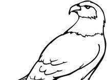 aguila arpia para colorear dibujo de Águila posada para colorear dibujos para para arpia aguila colorear