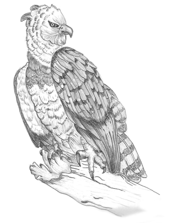 aguila arpia para colorear ilustración suramérica viva Águila arpía el ave para arpia aguila colorear