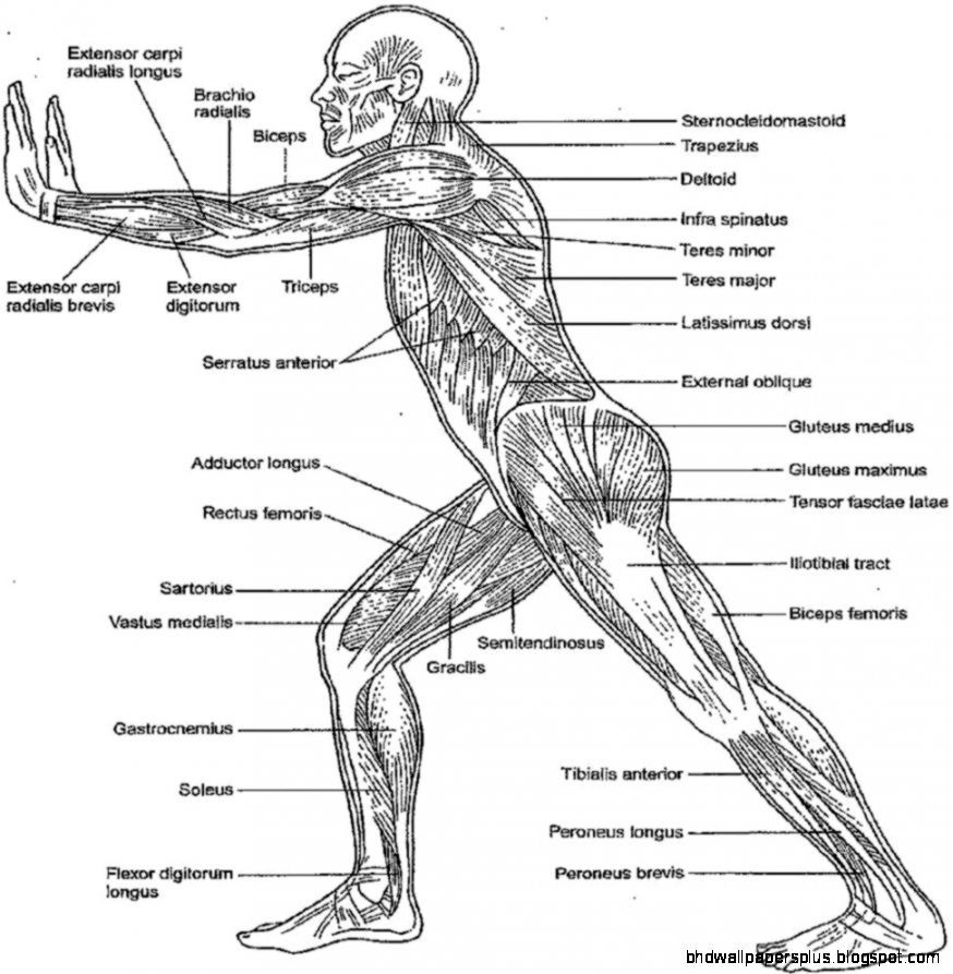 anatomy and physiology coloring pages free human body muscle coloring pages coloringsnet physiology anatomy free and pages coloring