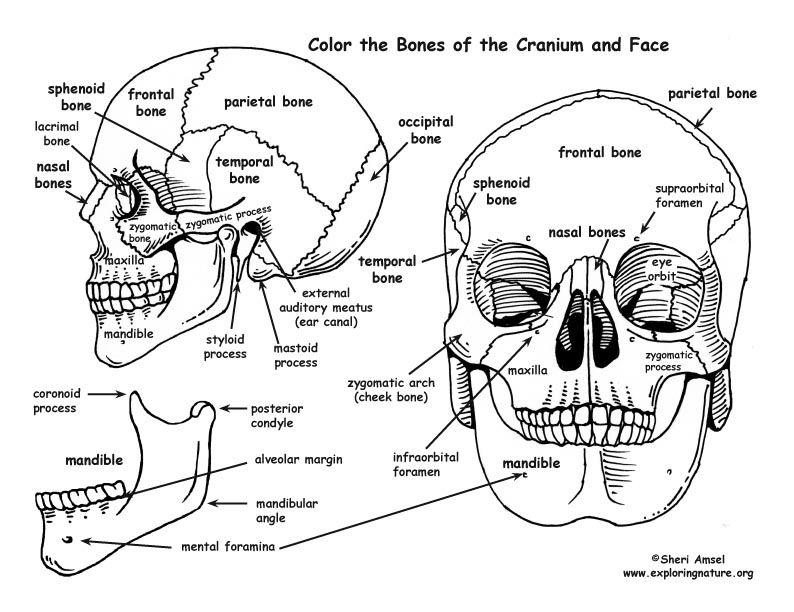 anatomy coloring book chapter 13 answers tissuereviewworksheetspdf 38 anatomy physiology 13 anatomy coloring answers book chapter