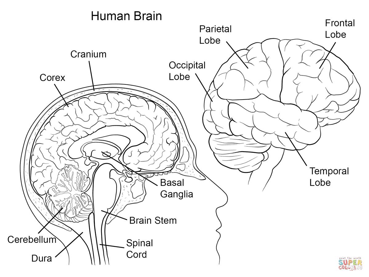 anatomy coloring page human brain anatomy super coloring brain anatomy anatomy page coloring