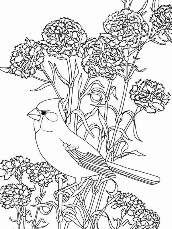 birdsandblooms coloring book disegno di turdus migratorius e alloro di montagna coloring birdsandblooms book