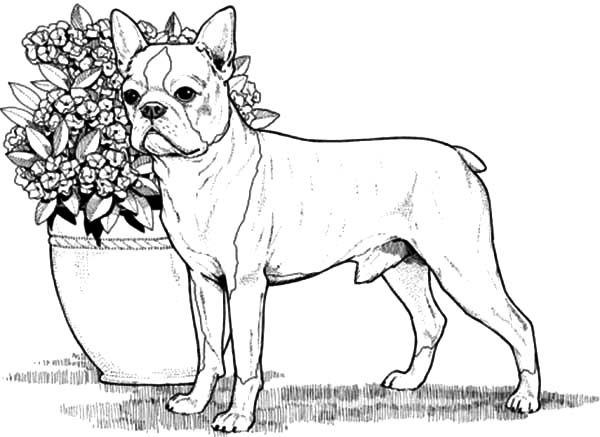 boston terrier coloring page boston terrier coloring pages surfnetkids terrier page boston coloring