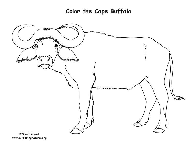 buffalo coloring sheet african buffalo coloring page animals town free sheet buffalo coloring