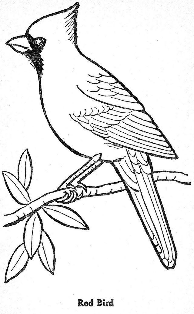 cardinal coloring pages beccy39s place cardinal and holly pages cardinal coloring