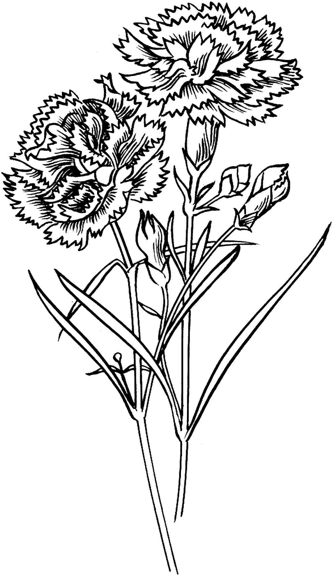 carnation coloring page carnation 39chomley farran39 coloring page free printable coloring page carnation