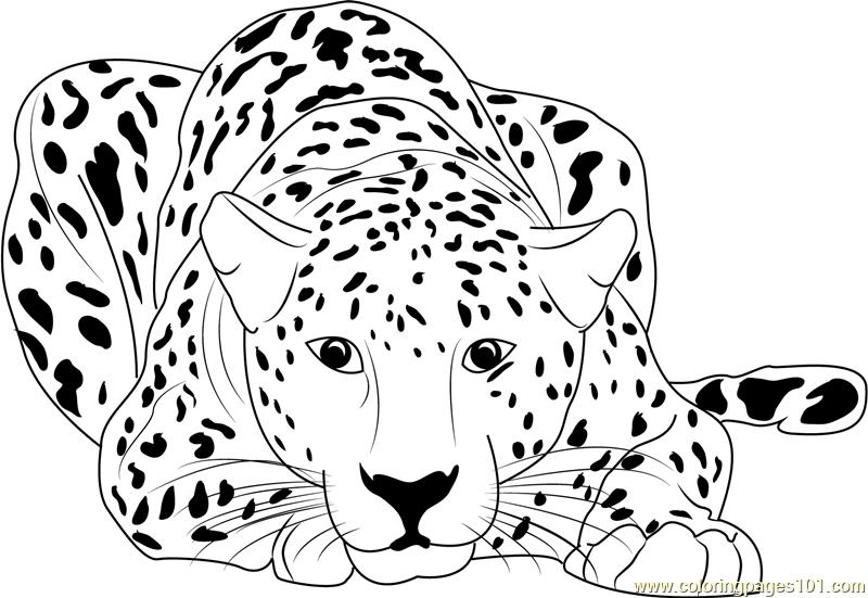 cheetah colouring page free cheetah coloring pages cheetah colouring page