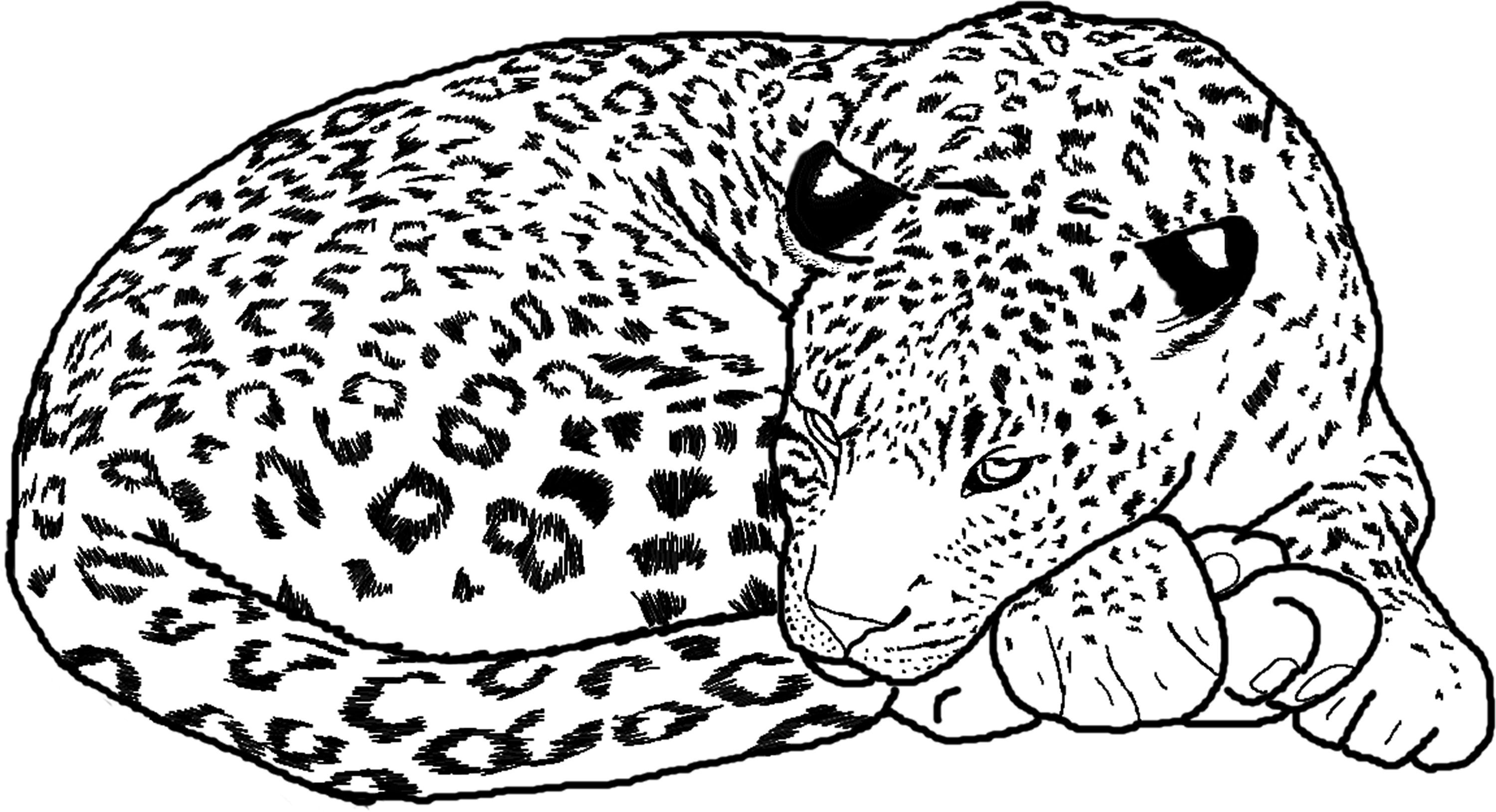 cheetah colouring page pictures of baby cheetahs coloring home colouring page cheetah