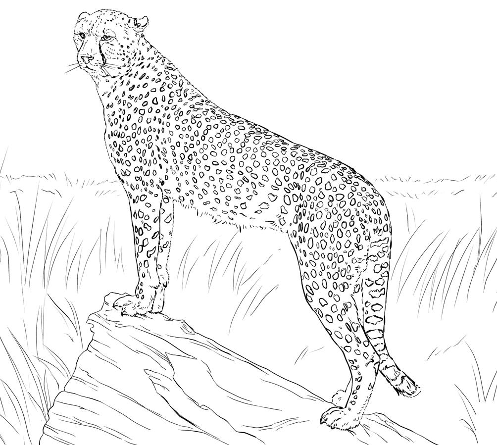 cheetah colouring page printable cheetah coloring pages for kids cool2bkids colouring page cheetah