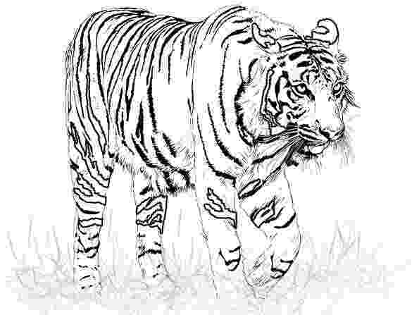 coloring book tiger colort8 tiger coloring pages for kids tiger vector book coloring tiger