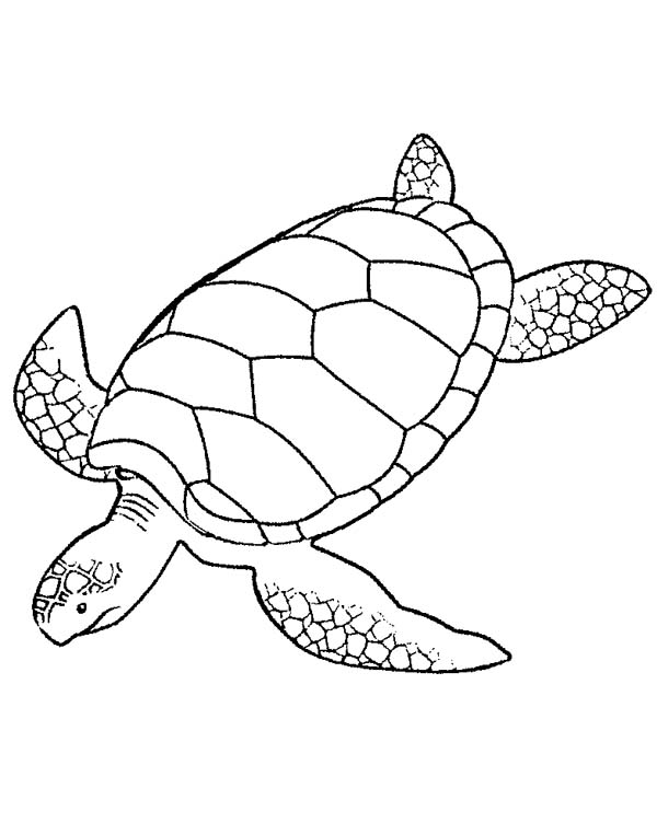 coloring turtles sea turtle drawing at getdrawingscom free for personal turtles coloring