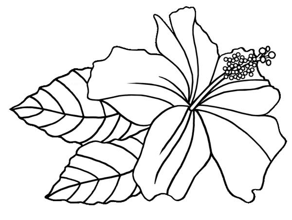 colouring pages hibiscus flower free printable hibiscus coloring pages for kids pages colouring flower hibiscus