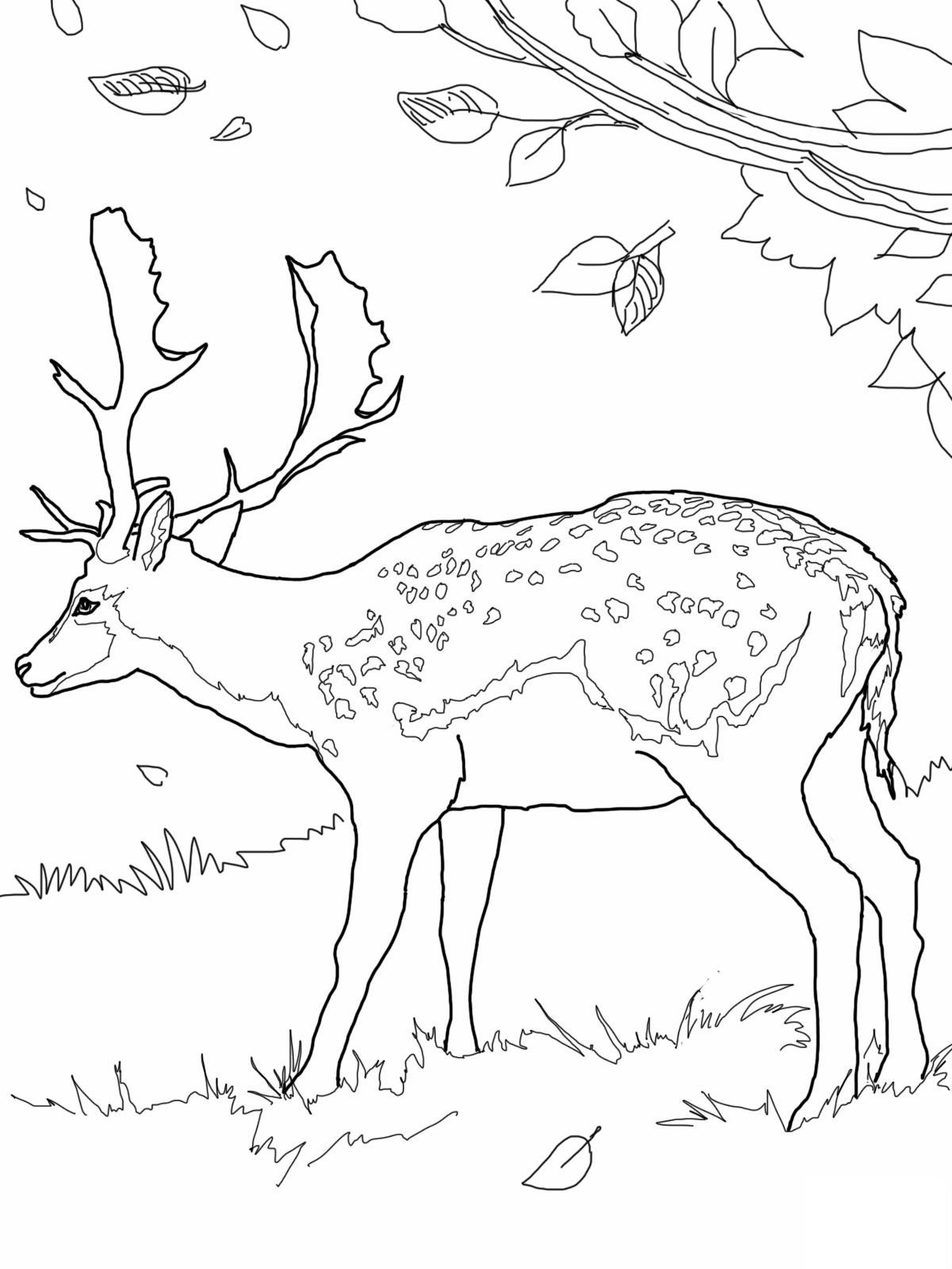 deer coloring page mule deer buck coloring page free printable coloring pages deer coloring page