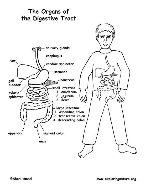 digestive system coloring sheet sindirim sistemi boyama sayfaları boyama sayfaları fen system sheet coloring digestive