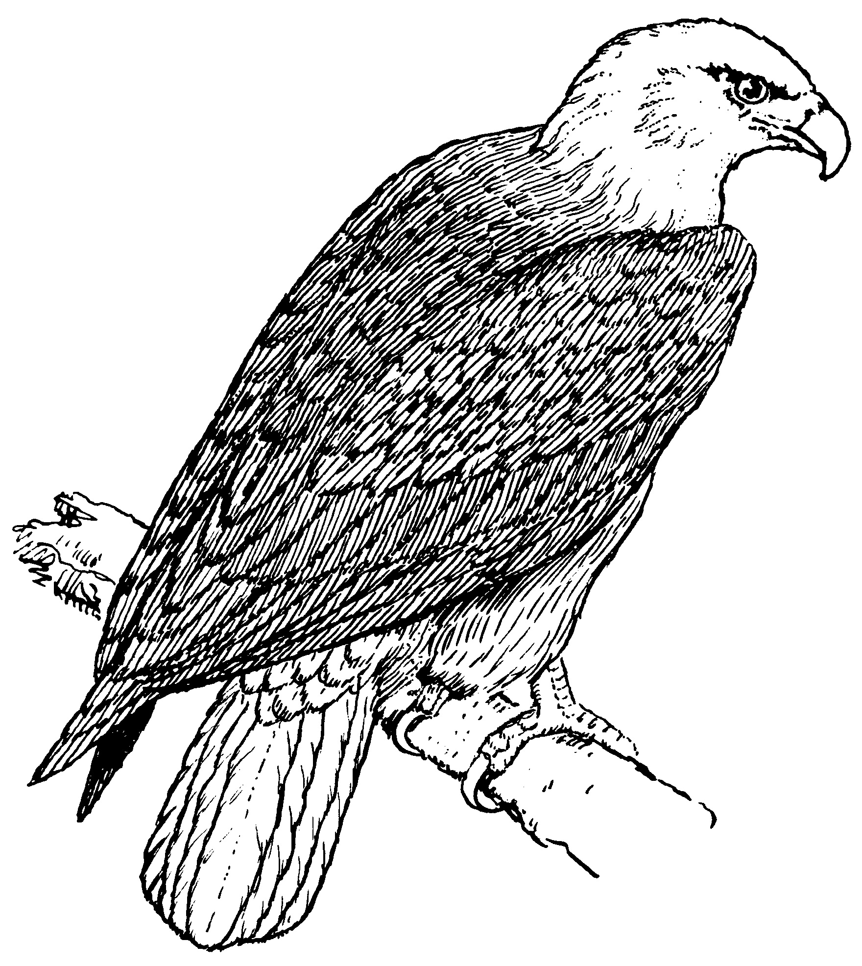 eagle adult coloring pages native american patterns printables to print this pages coloring eagle adult