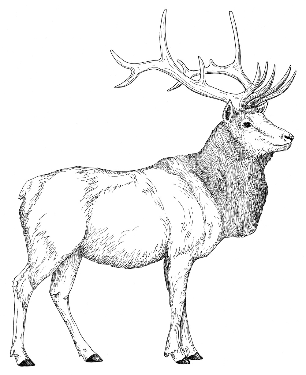 elk coloring page download online coloring pages for free part 14 elk page coloring