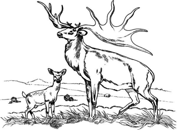 elk coloring page tule elk coloring page free printable coloring pages page elk coloring