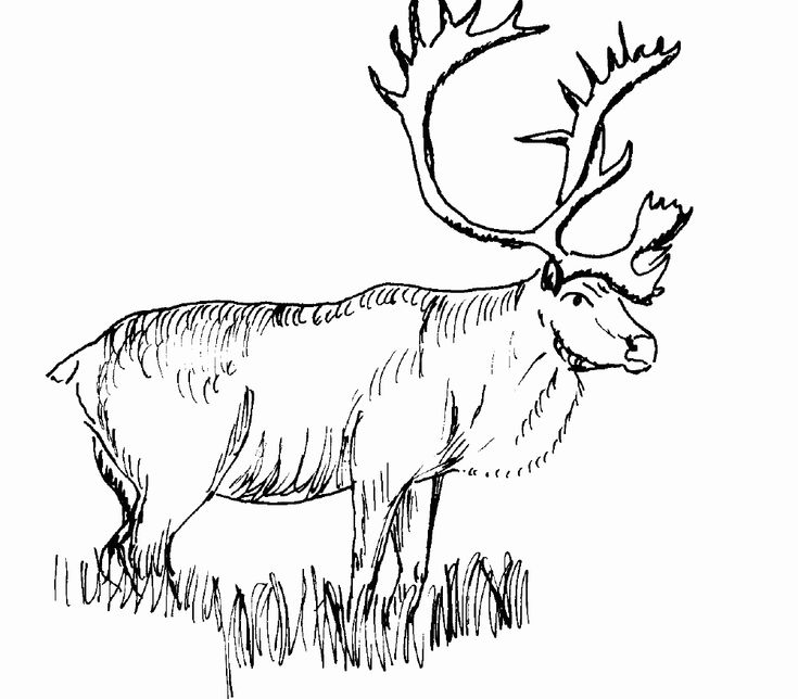 elk pictures to color moose antler coloring pages to elk pictures color
