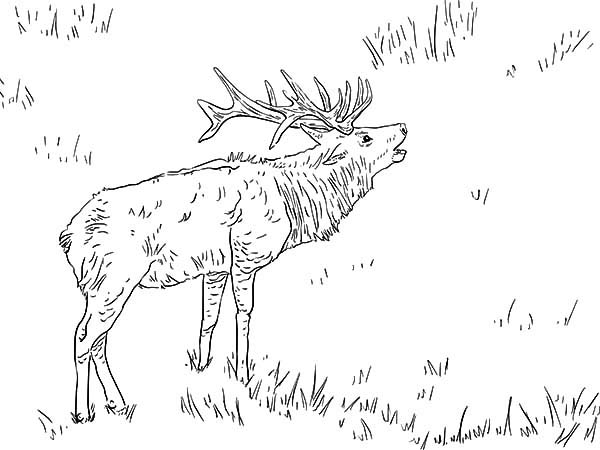 elk pictures to color moose antlers drawing at getdrawingscom free for elk pictures to color