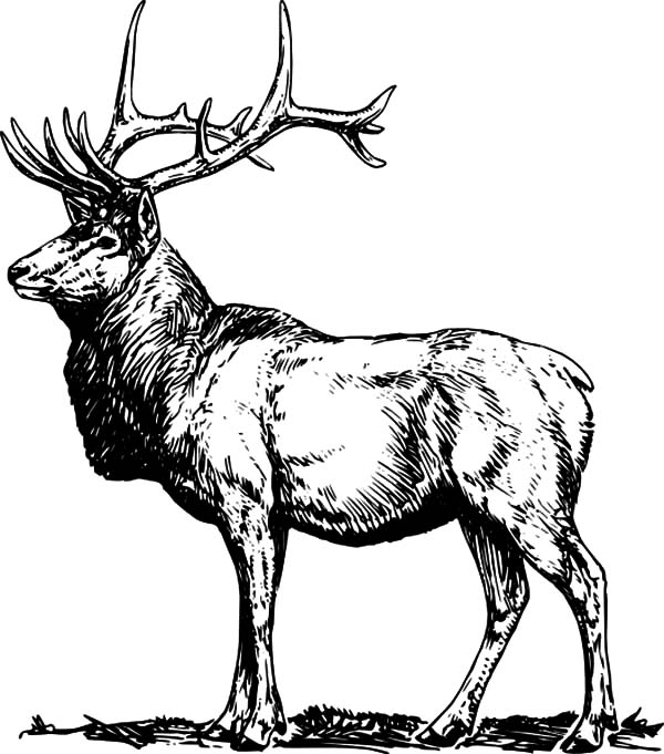 elk pictures to color moose drawing outline at getdrawingscom free for pictures to elk color