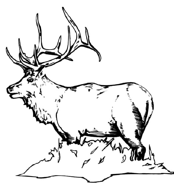 elk pictures to color simple elk coloring pages elk to color pictures