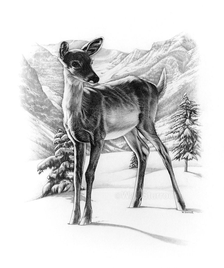fawn sketch 277 best fawn sketches images on pinterest deer art art fawn sketch 1 1