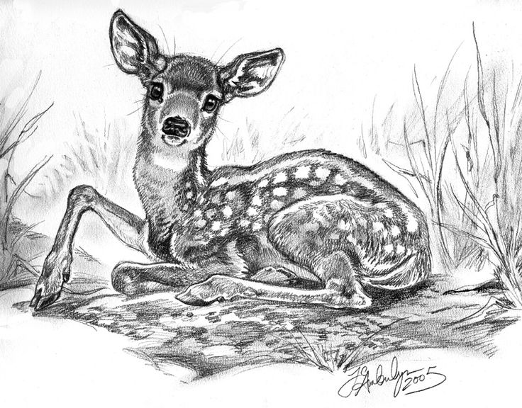 fawn sketch doe pen ink drawing pen and ink and pencil drawings fawn sketch