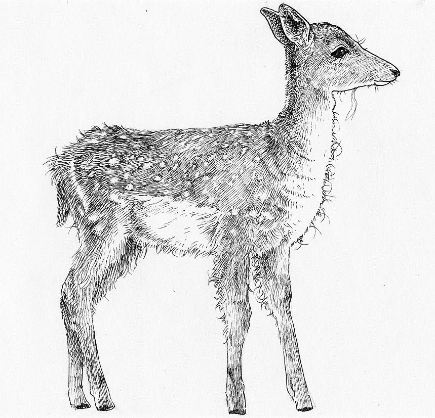 fawn sketch little fawn drawing by jessica crabtree fawn sketch
