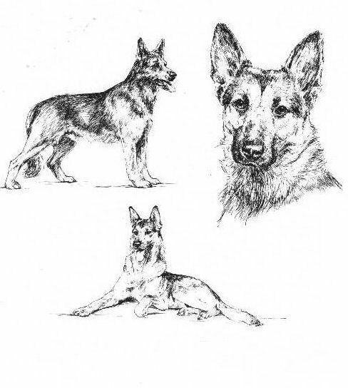 german shepherd pictures to print german shepherd coloring pages best coloring pages for kids to german pictures print shepherd