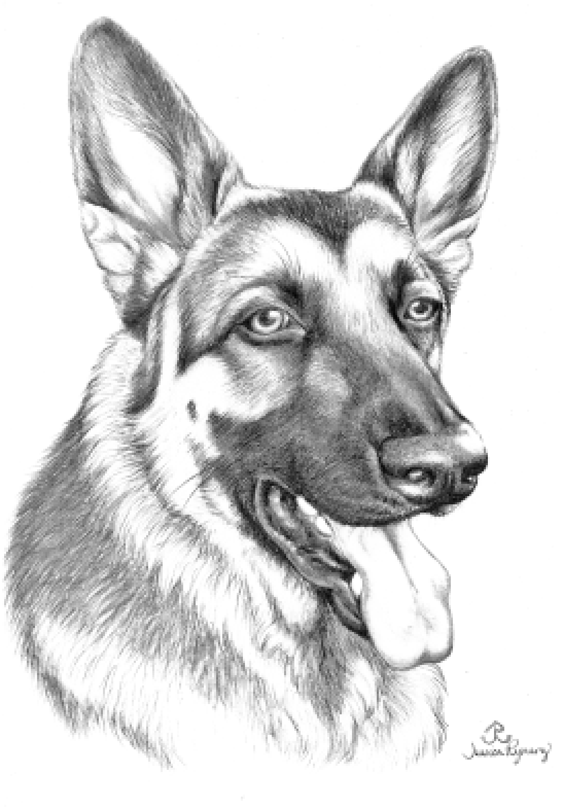 german shepherd pictures to print search results for coloring pages of german shepherds pictures print shepherd to german