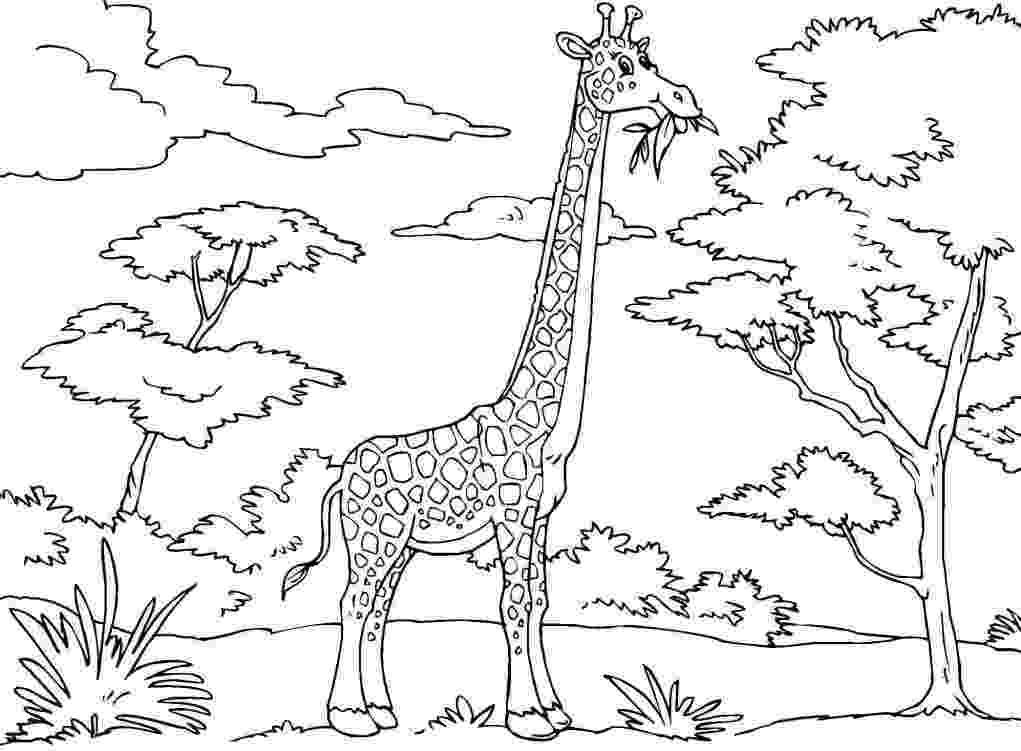 giraffe colouring picture giraffe coloring pages coloring pages to print picture colouring giraffe
