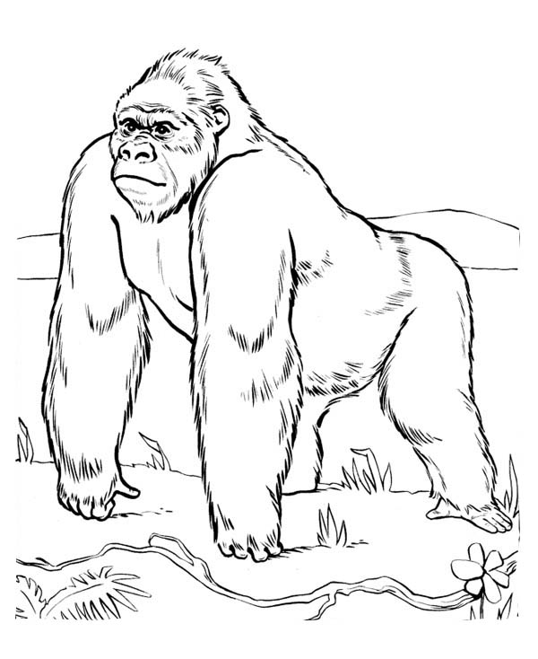 gorilla coloring pages ape coloring pages getcoloringpagescom coloring pages gorilla
