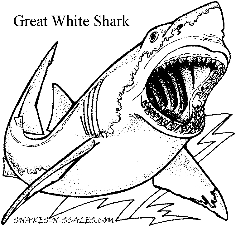 great white shark pictures to color great white shark coloring page snakes n scales pictures to color shark great white