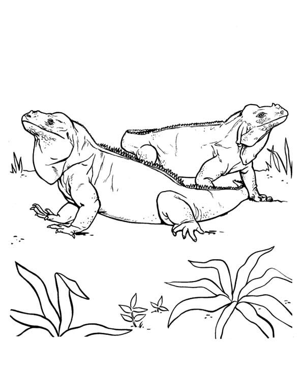 green iguana coloring page coloring pages iguana coloring pages green iguana coloring coloring page green iguana