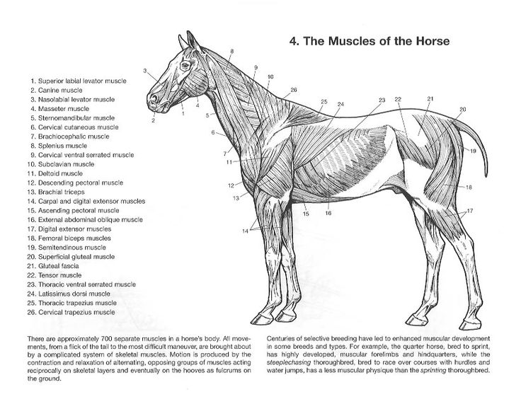 gross anatomy coloring book 957 best horse education images on pinterest horseback gross book anatomy coloring