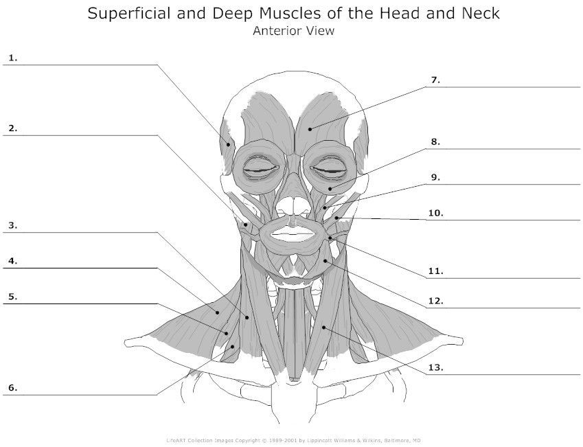gross anatomy coloring book blank head and neck muscles diagram anatomy physiology anatomy gross book coloring