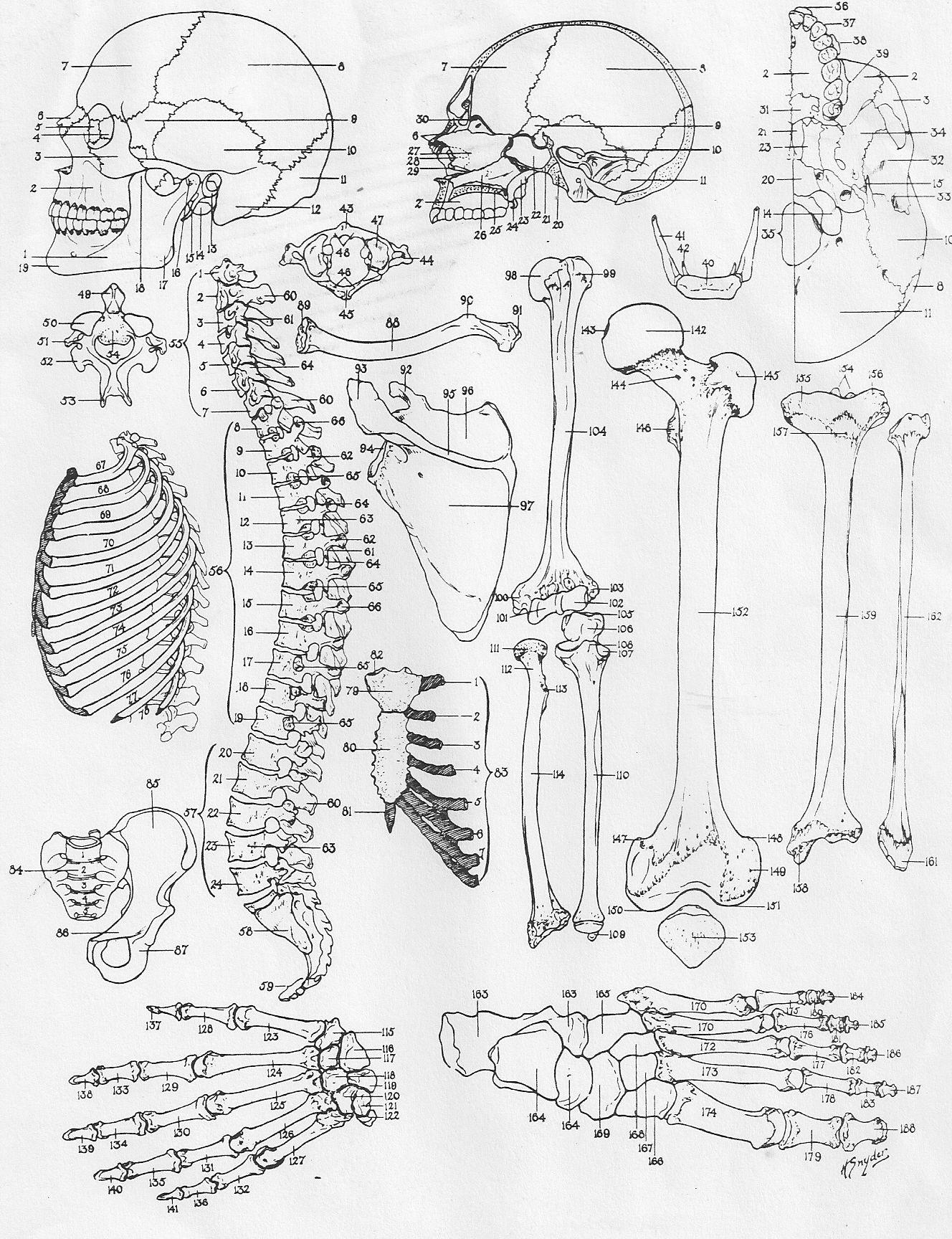 gross anatomy coloring book bone diagramcoloring human body unit human anatomy gross book anatomy coloring