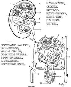 gross anatomy coloring book human brain anatomy super coloring human brain anatomy gross anatomy coloring book