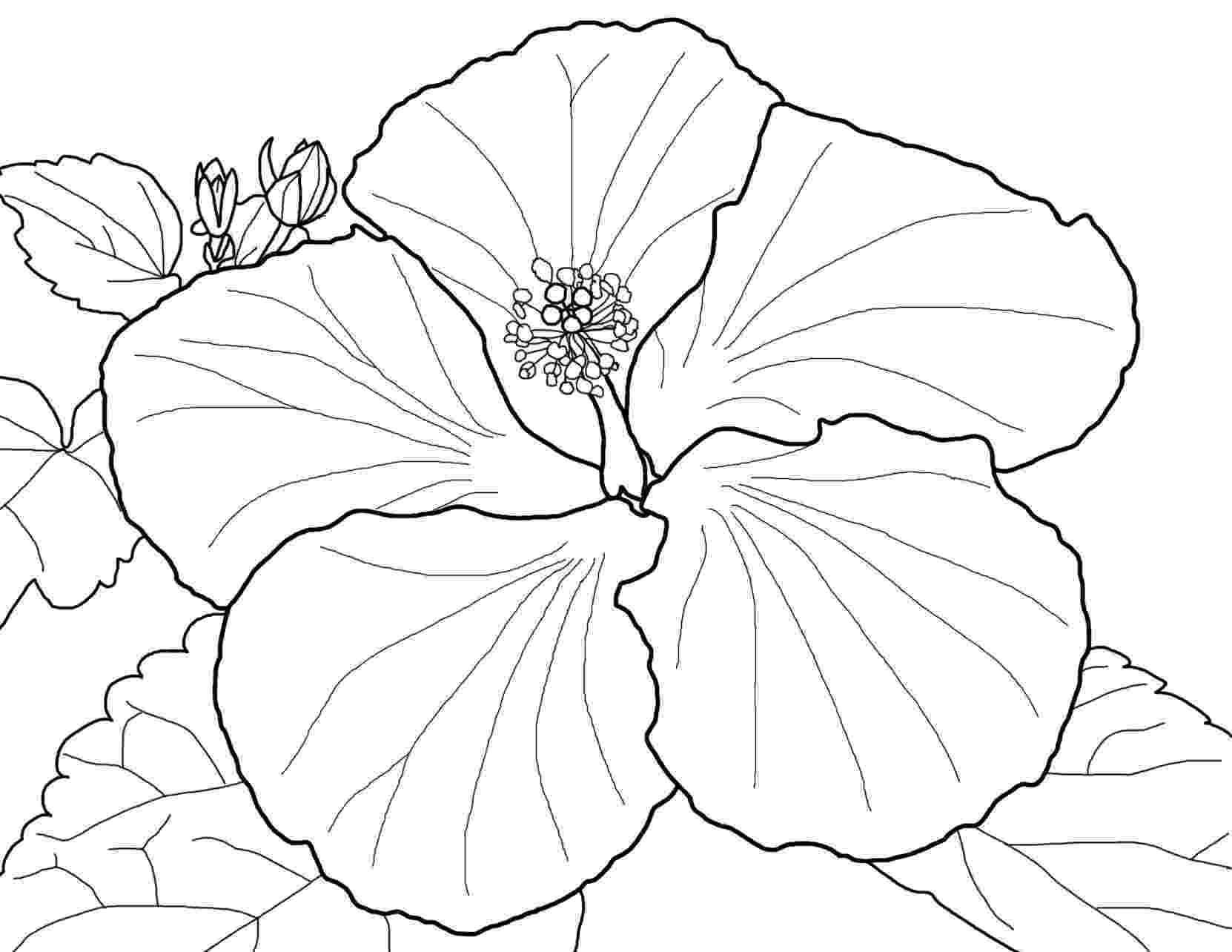hibiscus coloring pages beautiful red hibiscus flower colouring pages picolour pages coloring hibiscus