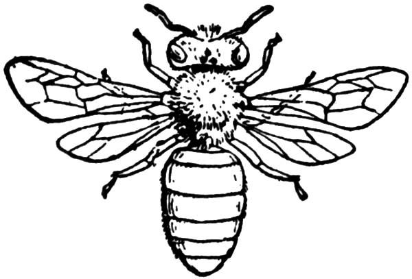 honey bee coloring page western honey bee coloring page free printable coloring page honey bee coloring