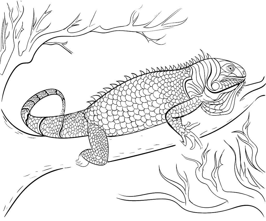 iguana coloring pages 16 printable pictures of iguana page print color craft coloring iguana pages