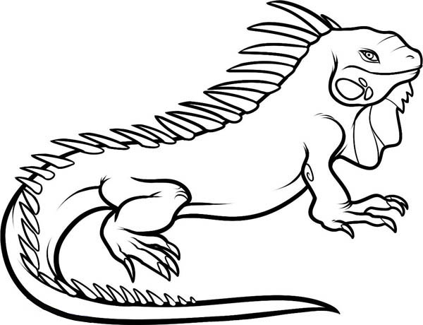 iguana coloring pages iguana coloring page free printable coloring pages iguana pages coloring