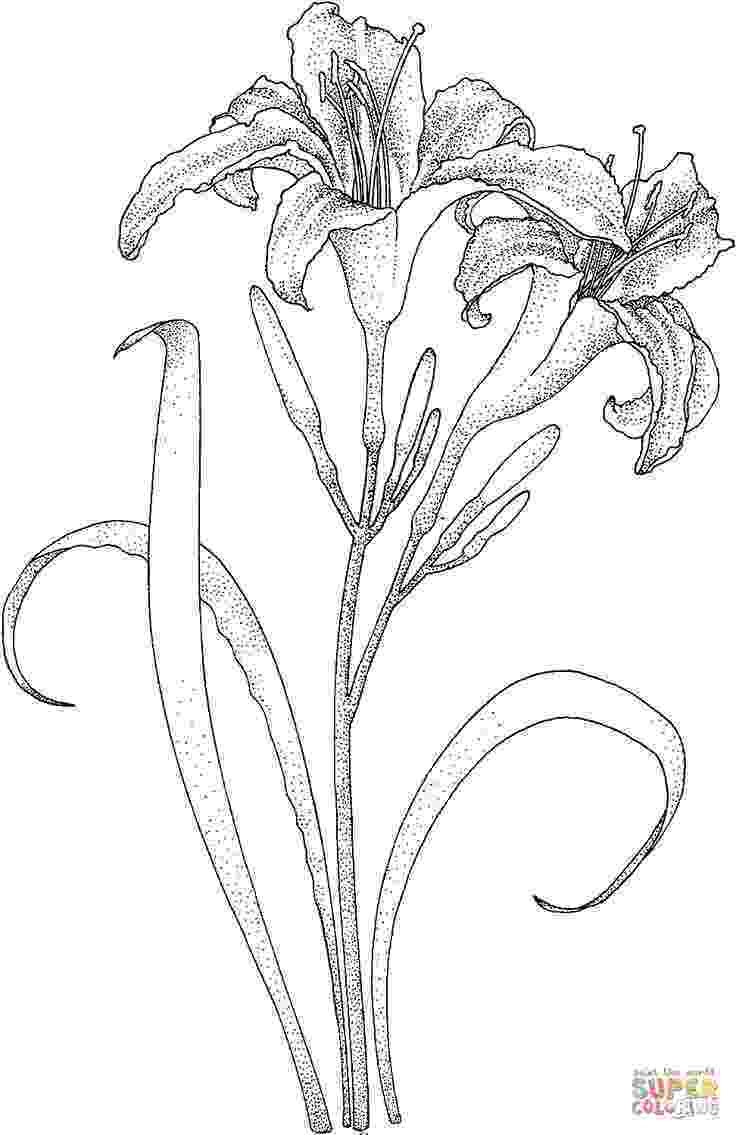 lily flower coloring pages lily 5 tons of flower coloring sheets description from flower lily pages coloring
