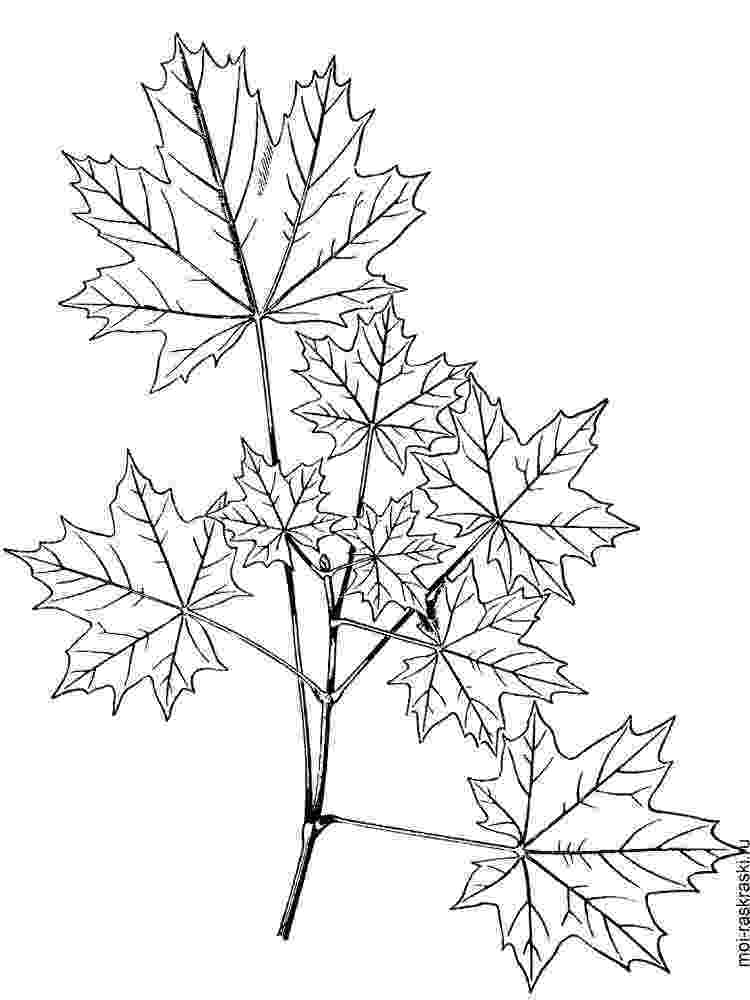 maple tree coloring page children39s book the magic maple tree goodies maple tree coloring page