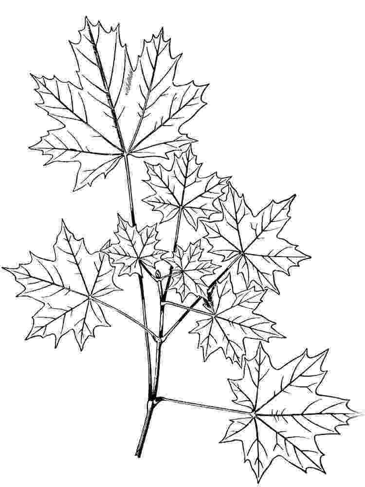 maple tree coloring page crista forest39s animals art autumn birds adult coloring maple page coloring tree