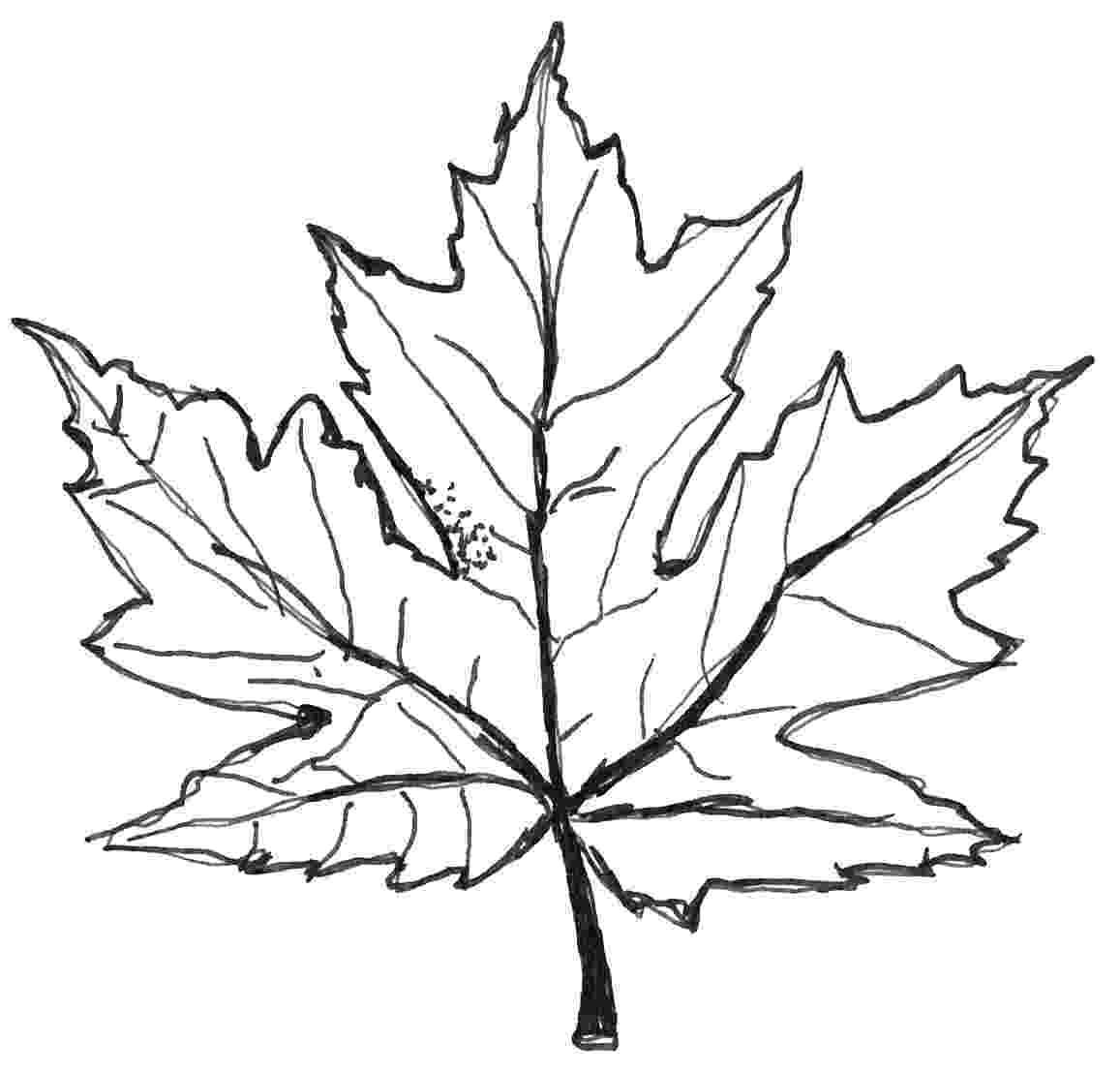 maple tree coloring page maple tree coloring pages for kids free printable maple tree coloring page maple
